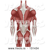 Vector of Grown Guy's Back Including the Back of the Arms and Legs by AtStockIllustration