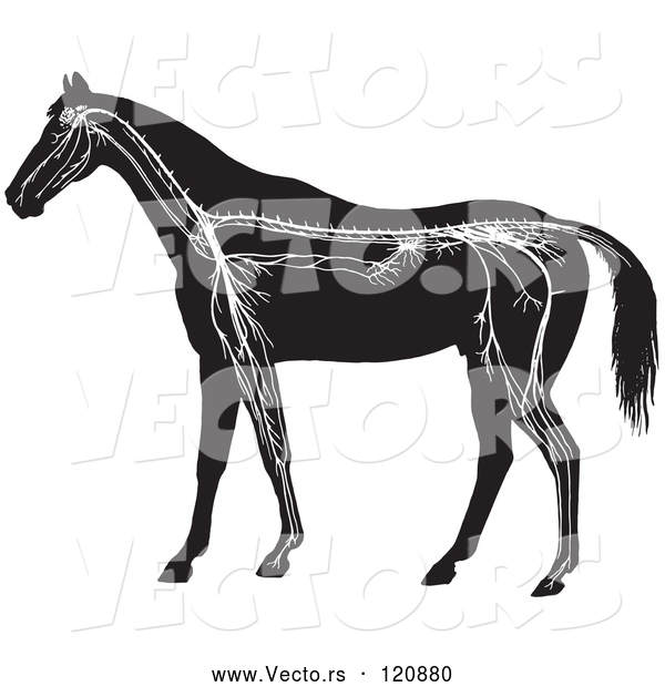 : Vector of Retro Vintage Horse Anatomy of the Nervous System in Black and White