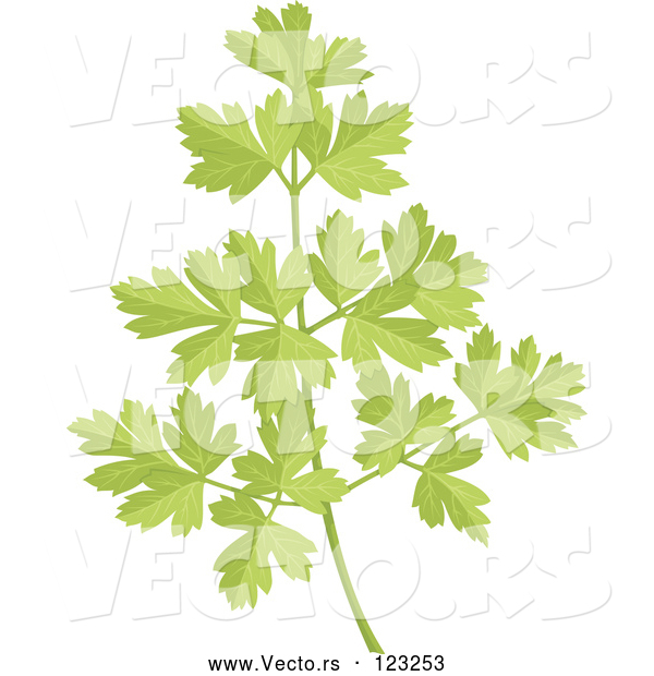 Vector of Sprig of Fresh Green Parsley